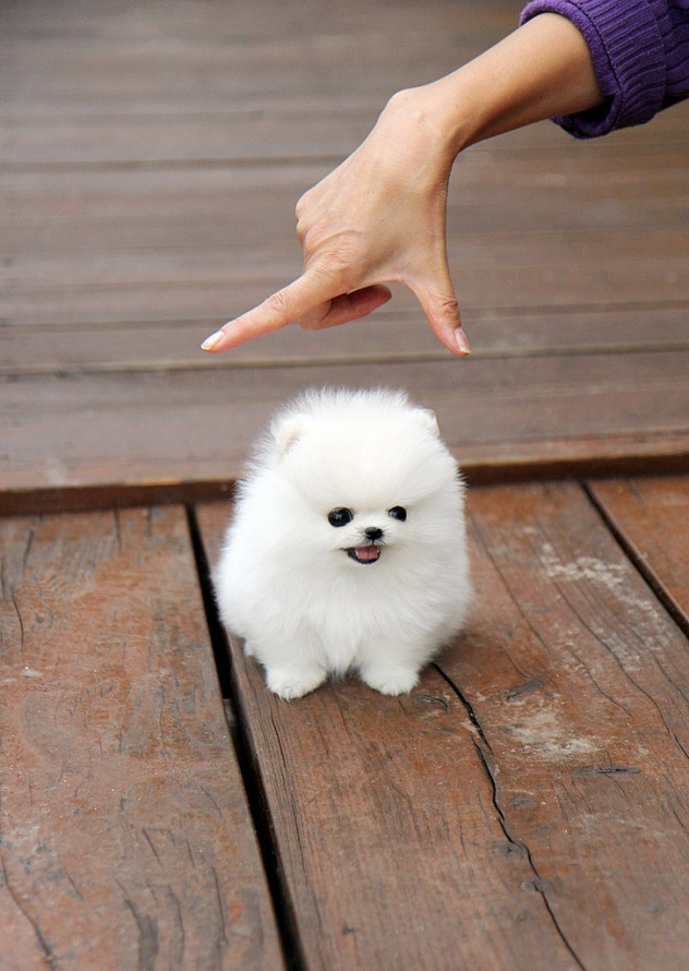 Beautiful Pomeranian Anime Adorable Dog - cutest-little-white-fluffy-puppy  Image_48319  .jpeg