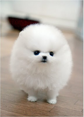 Wonderful Pomeranian Anime Adorable Dog - fluffy-puppy-white-favim-com-260034  Pictures_68622  .jpg